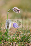 Fotografie blooming and faded blossom of purple little furry pasqueflower pulsatilla grandis blooming in spring czech republic