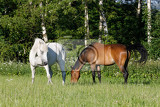 Fotografie beautiful herd of horses in farm graze in spring meadow countryside scene