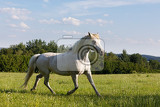 Fotografie beautiful white horse free running in spring pasture meadow
