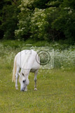 Fotografie beautiful health white horse grazing in a spring grass meadow pasture in evening