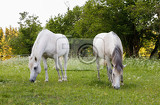 Fotografie two beautiful health white horse grazing in a spring grass meadow pasture in evening