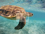 adult green sea turtle chelonia mydas swim in red sea marsa alam egypt