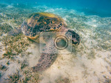 Photo adult green sea turtle chelonia mydas grazing in red sea marsa alam egypt