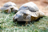 russian tortoise agrionemys horsfieldii also commonly known as horsfields tortoise or the central asian tortois