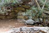 Photo russian tortoise agrionemys horsfieldii also commonly known as horsfields tortoise or the central asian tortois