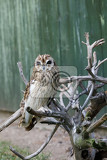 big bird shorteared owl asio flammeusperched on dryed twig