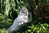 Photo snowy owl bubo scandiacus large white bird of the typical owl family
