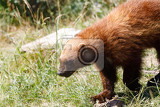 Fotografie wolverine gulo gulo also referred to as the glutton carcajou skunk bear or quickhatch carnivore more closely resembling a small bear