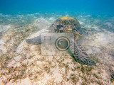 Photo big adult green sea turtle chelonia mydas grazing in red sea marsa alam egypt