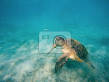 Photo big adult green sea turtle chelonia mydas swim in red sea marsa alam egypt