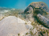 big adult green sea turtle chelonia mydas grazing in red sea marsa alam egypt
