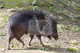 Fotografie pig chacoan peccary catagonus wagneri known as the tagua live in gran chaco of paraguay bolivia and argentina