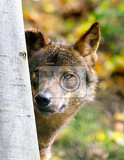 Fotografie iberian wolf canis lupus signatusinhabits the forest and plains in spain and portugal