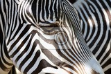 Fotografie a beautiful shot of an animal in nature eye of zebra