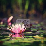 Fotografia flower beautiful blooming water lily on the water surface natural colorful blurred background nymphaea