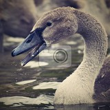 Fotografie beautifully young swan cygnus olor