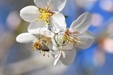 spring background beautifully blossoming tree with bee flower in nature