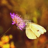 Fotografia beautiful butterfly on flower natural colorful background pieris brassicae