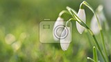 Fotografie spring flowers  snowdrops beautifully blooming in the grass at sunset amaryllidaceae  galanthus nivalis