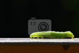 Photo beautiful small green caterpillar macro shot of insectsnature
