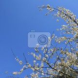 beautiful blooming fruit tree branch beautifully flowering tree white and pink blossoms with sunshine and blue skies nice seasonal nature blurred background in spring
