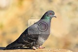 beautiful photo of a bird feral pigeon columba livia domestica and colourful background