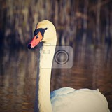 Fotografie beautiful swan at the pond beautiful natural colored background with wild animals
