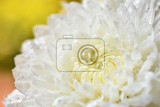 Fotografie macro shot of drops on the white flowers beautiful natural pink blurred background