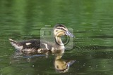 Fotografie small ducks on a pond fledglings mallardsanas platyrhynchos