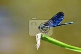 Fotografie closeup of dragonfly calopteryx virgo