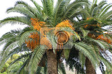 big palm tree with fruits