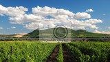 Fotografie vineyard grapes growing of grapes palava south moravia czech republic