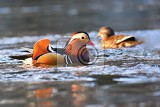 closeup male mandarin duck aix galericulata swimming on the water with reflection a beautiful bird living in the wild