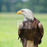 Photo bald eagle horizontal profile