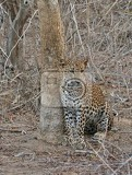 leopard in the yala national park