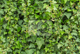 Fotografia green leaf texture of english ivy for background use