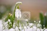 Fotografie snowdrops spring flowers beautifully blooming in the grass at sunset delicate snowdrop flower is one of the spring symbols amaryllidaceae  galanthus nivalis