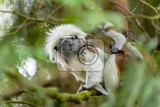 Photo cotton top tamarin family female with baby on a tree branch