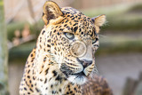 Fényképek cejlon sri lankan leopard panthera pardus kotiya cat was listed as endangered on the iucn red list