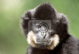 primate nomascus gabriellae close up portrait shallow focus