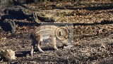 beautiful little pigs wild in nature wild boar animal in the forest