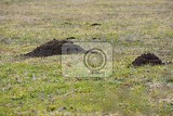 mole talpa europaea crawling out of brown molehill green grass at backgrond