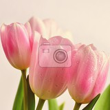Photo beautiful delicate spring flowers  pink tulips pastel colors and isolated on a pure background closeup of flowers with drops of water nature concept for spring time