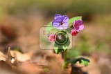 healing beautiful colorful plant spring blossoming flower in forest in grass concept for healing health and homeopathy pulmonaria officinalis