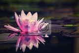 beautiful pink waterlily  lotus flower in pond  nymphaeawaterlily