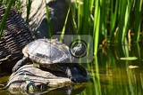 a beautiful turtle on a stone wild in nature by the pond trachemys scripta elegans