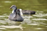 a beautiful black wild duck floating on the surface of a pond fulica atra fulica previous