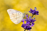 small cabbage white butterfly on violet lavender summer concept