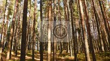 beautiful natural forest background coniferous trees on a beautiful sunny day relaxation in nature