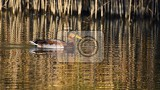 Photo mallard wild duck on the shore of a pond maleduck anas platyrhynchos